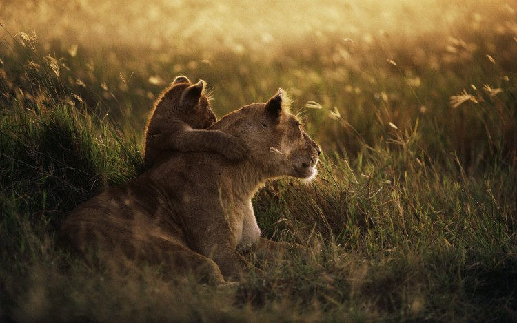 African Lion (Panthera leo) mother with cub at dawn, Serengeti National Park, Tanzania