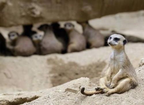 popup lemury