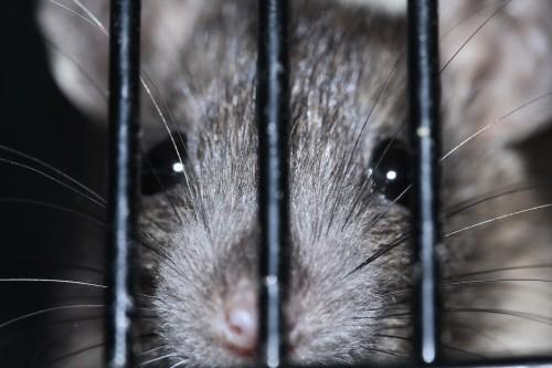 2016-04-rat